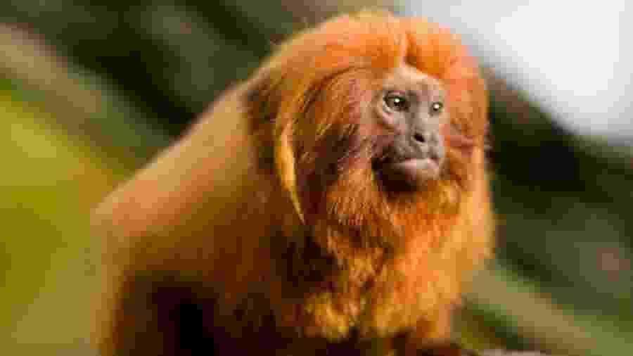 Unificação de unidades de proteção pode afetar sobrevivência do mico-leão-dourado - Wikimedia