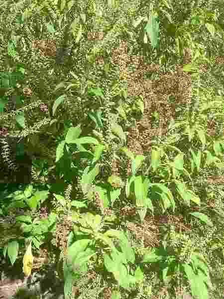 ervas do quilombo cafundó - Acervo pessoal - Acervo pessoal