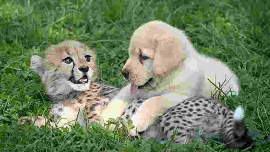 Filhote de guepardo e cachorro no Columbus Zoo, nos Estados Unidos - Reprodução/Columbus Zoo
