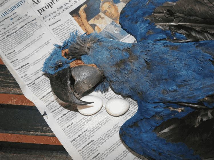 Arara-azul-grande apreendida em Bela Vista (MS) - Edson Diniz - Edson Diniz