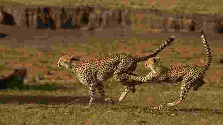 Guepardos no Maasai Mara - Divulgação/ GreatPlainsConservation - Divulgação/ GreatPlainsConservation