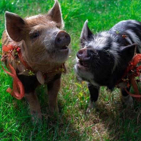 Tim e Faith, os porquinhos que Chris Pratt ganhou de aniversário - Reprodução