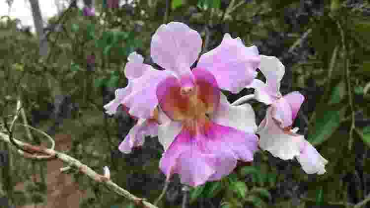 Orquídea vanda teres - Carol Costa/Minhas Plantas - Carol Costa/Minhas Plantas
