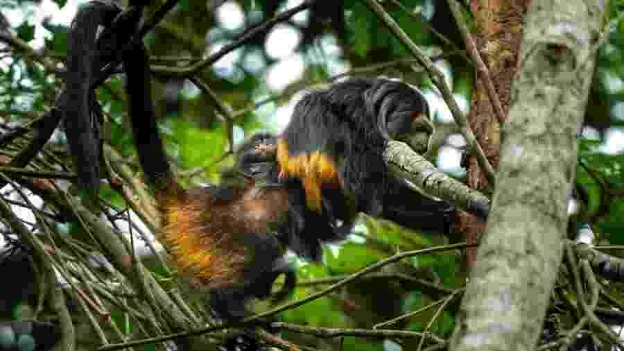 Família de micos-leões-pretos nas árvores da região do Pontal do Paranapanema, único habitat da espécie no mundo - Instituto de Pesquisas Ecológicas (Ipê)