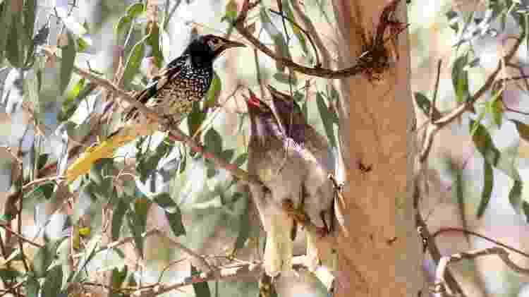 Os pesquisadores acreditam que ensinar pássaros criados em cativeiro a cantar pode ajudar nos esforços de conservação - MICK RODERICK - MICK RODERICK