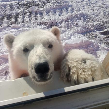 Filhote de urso encontrado perto de base de mineradores na Ilha Bolchevique - Andrei Gorban/Reprodução Facebook