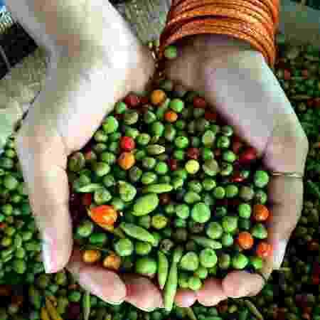 Pimentas cultivadas pelos povos Baniwa - Bela Gil - Bela Gil