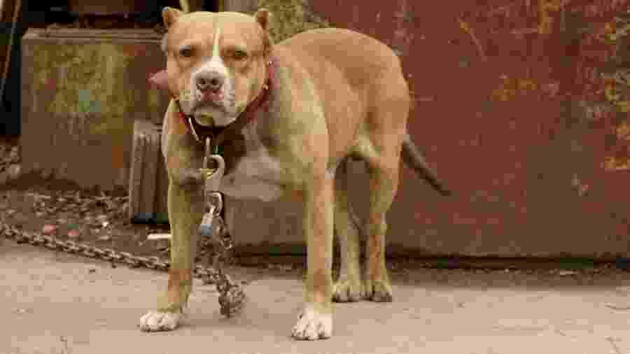 Adolescente acusa marido de agressão após defender um cachorro da raça pitbull, como o da foto - Getty Images/iStockphoto