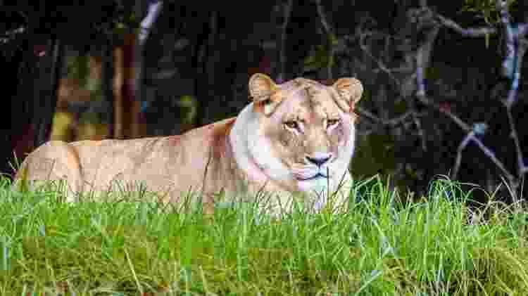 leão branco no santuário Jukani - Getty Images - Getty Images