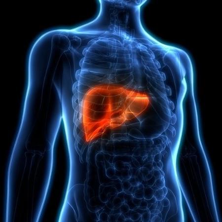 Fígado é um dos órgãos mais importantes do corpo humano - Getty Images - Getty Images