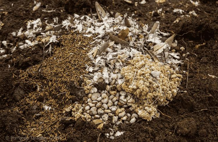 As sementes nativas representam um futuro mais verde para a restauração do Cerrado - Fernando Tatagiba/ICMBio - Fernando Tatagiba/ICMBio