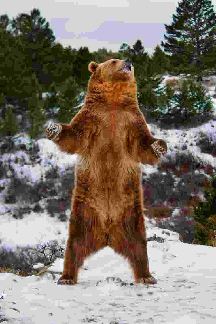 De pé, o urso pode chegar a medir mais de 2 metros de altura - Getty Images/iStockphoto - Getty Images/iStockphoto
