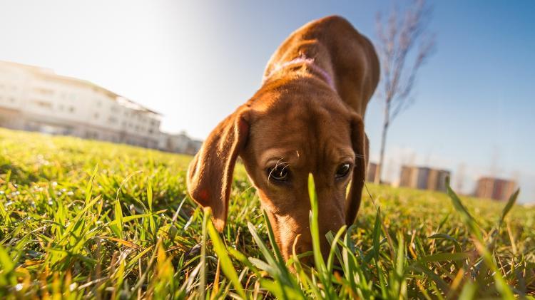 cachorro-farejando-grama-1487868410985_v2_750x421