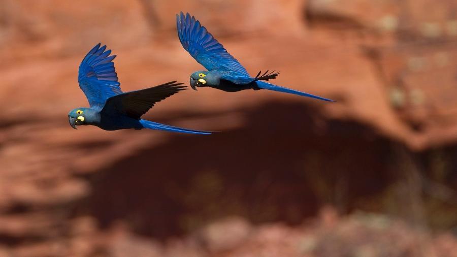 Araras-azuis-de-lear na região do Raso da Catarina. - JOAO MARCOS ROSA / NITRO