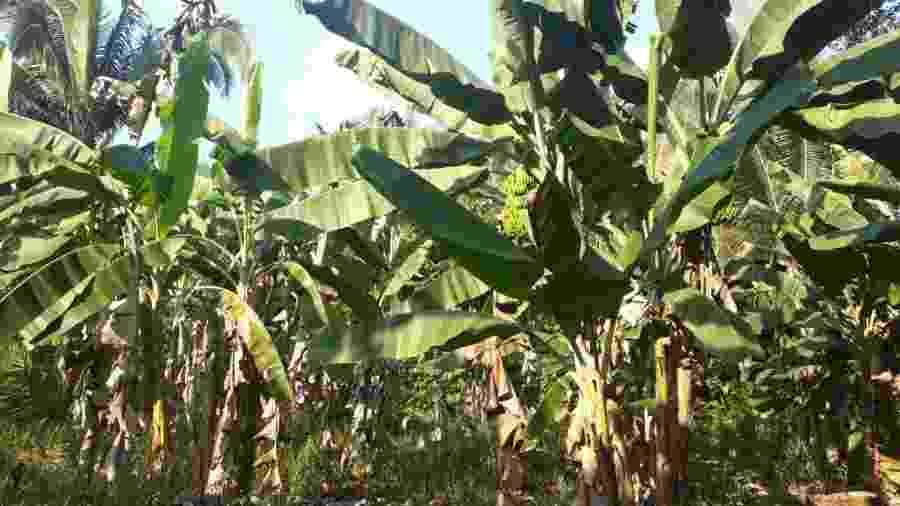 Terra reflorestada pela técnica agropecuária Marliane das Chagas Soares em Juruti (PA) - Divulgação