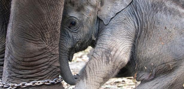 Elefantes para passeios costumam ser retirados de suas mães ainda muito jovens - Getty Images