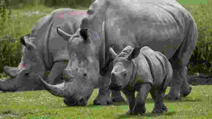 Rinocerontes no reino de eSwatini, na África - wrangel/Getty Images/iStockphoto