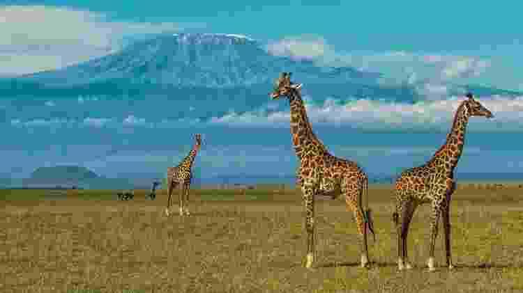 Girafas passeiam em campo. Ao fundo, o monte Kilimanjaro - Divulgação/Great Plains Conservation - Divulgação/Great Plains Conservation