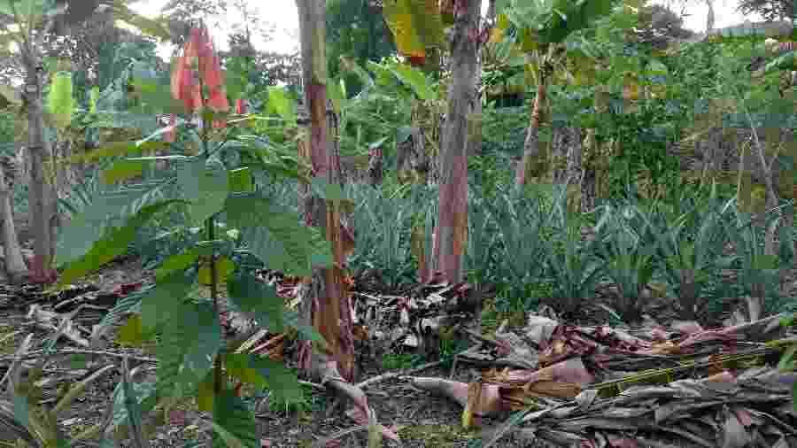 Agrofloresta na Reserva Extrativista Chico Mendes, no Acre - Flávio Quental/WWF-Brasil