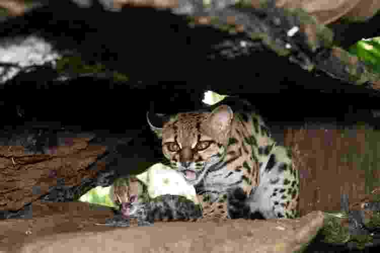 Gato-maracajá é uma espécie em extinção atualmente; em 36 anos, nasceram 34 no refúgio brasileiro - Sara Cheida/Itaipu Binacional. - Sara Cheida/Itaipu Binacional.