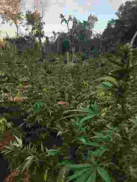Plantação de maconha na Jamaica - Arquivo pessoal - Arquivo pessoal