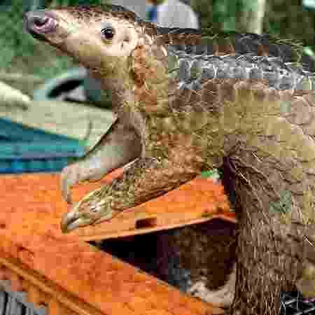 Pangolim traficado em Kuala Lumpur: animal é suspeito de ser o hospedeiro intermediário do coronavírus - Getty Images via BBC