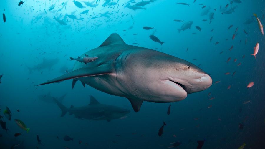 Um tubarão de cabeça-chata, da mesma espécie que atacou Andrew Eddy - Alastair Pollock Photography/Getty Images