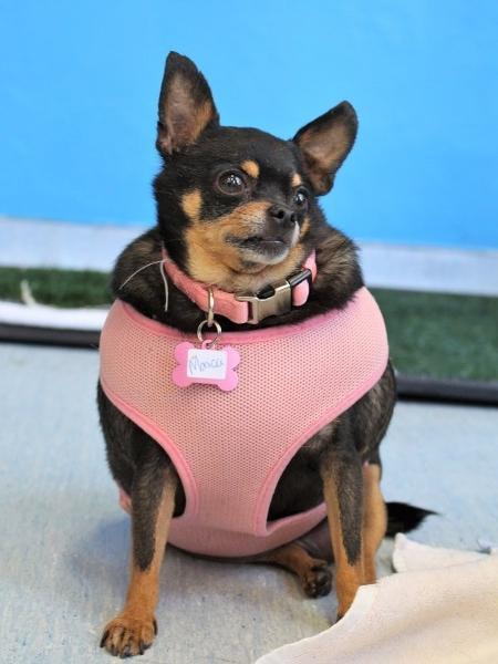 A chihuahua Bertha pesava 5,5 kg, muito acima do ideal para a sua raça - Arquivo/Muttville Senior Dog Rescue