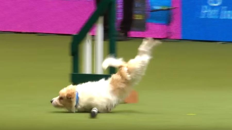 Ollie, o Jack Russell que deu um show de trapalhadas em competição canina - Reprodução/Youtube