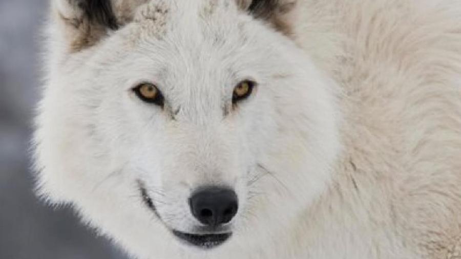 """Fantasma, o lobo de Jon Snow em """"Game of Thrones"""" - Reprodução"""