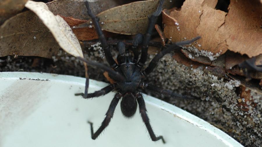 Aranha teia-de-funil está entre as mais perigosas do mundo - Doug Beckers/Creative Commons