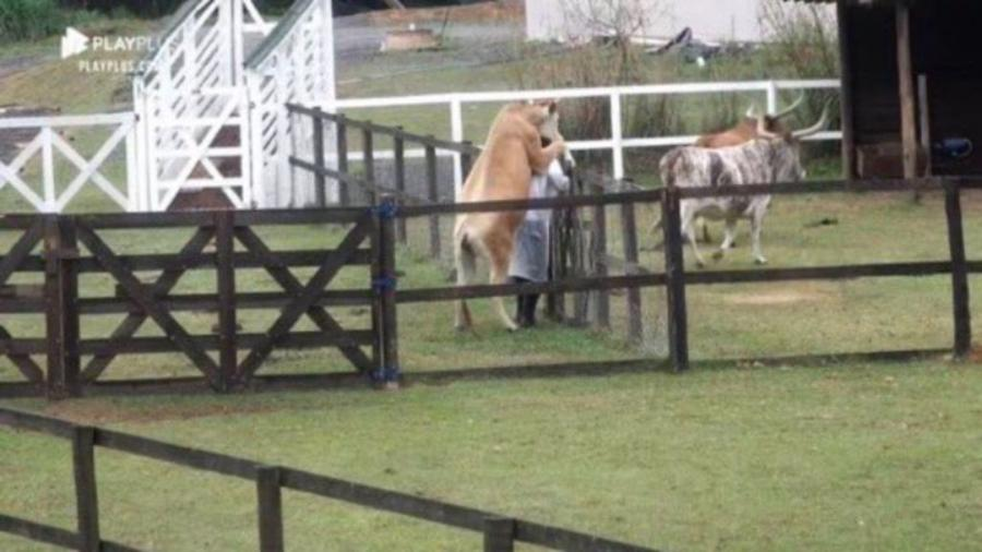 """A Fazenda 2021: Vaca """"monta"""" em Nego do Borel durante trato com os animais - Reprodução/PlayPlus"""