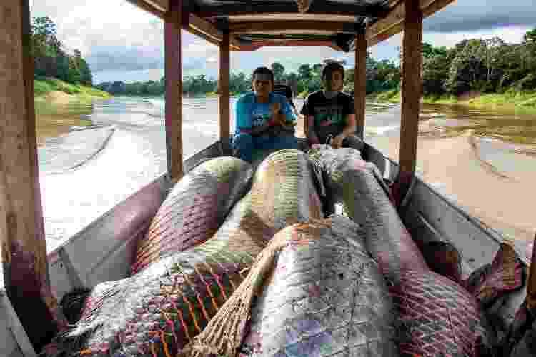 Peixes pirarucu em barco após serem pescados no rio Solimões - Bernardo Oliveira/Divulgação - Bernardo Oliveira/Divulgação