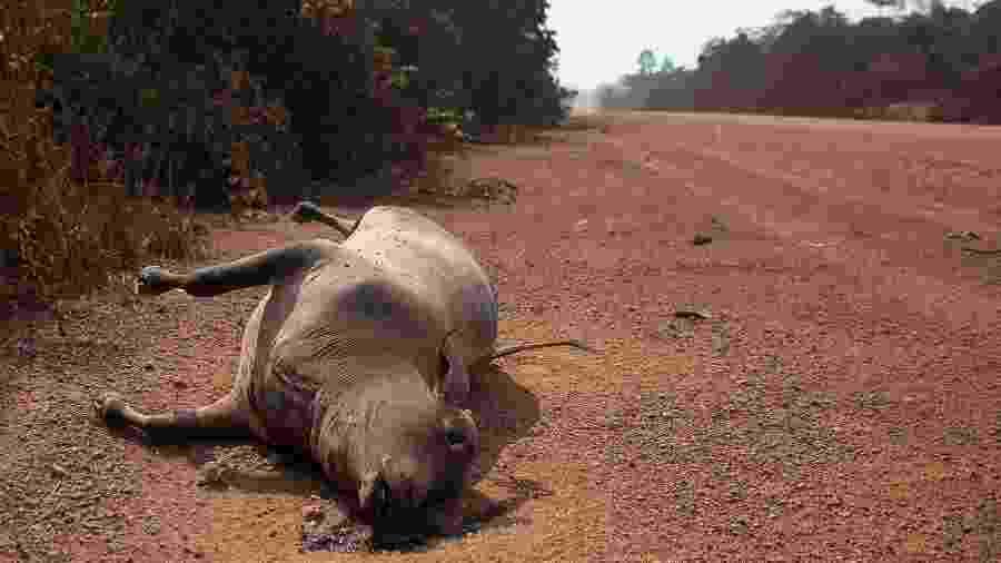Uma vaca morta é vista à beira da rodovia BR 230 em trecho do estado do AM; queimadas têm provocado morte de animais na região - Bruno Kelly/Amazônia Real