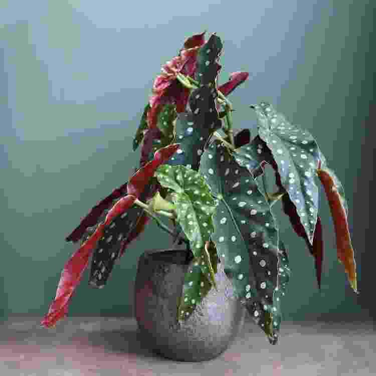 begônia maculata - Reprodução - Reprodução