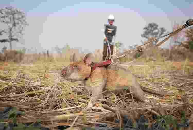 """Mais """"ratos heróis"""" são treinados pela ONG, na Tanzânia - Apopo - Apopo"""