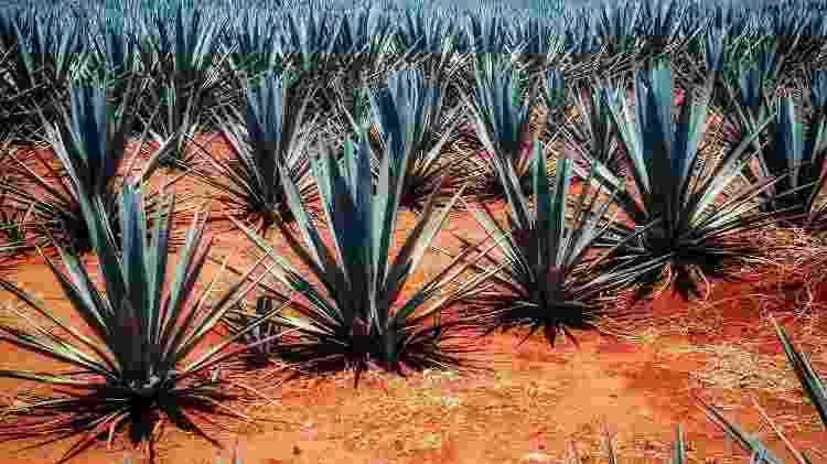 Agave azul é a base da tequila e determina a qualidade da bebida - Getty Images/iStockphoto - Getty Images/iStockphoto
