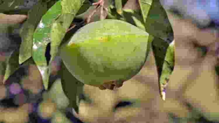 cambuci frutas exóticas - iStock - iStock