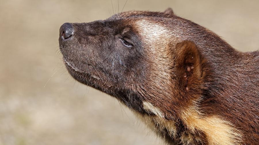 Wolverine, carcaju ou glutão: passa despercebido - Moelyn Photos/Getty Images
