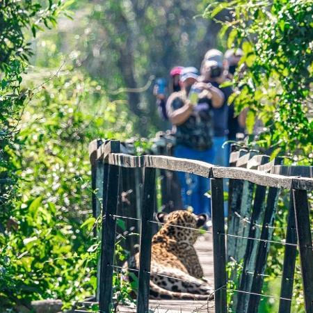 Turistas avistam onça que usou passarela em trilha no Pantanal para descansar - Reprodução/ Edir Alves/ Fazenda San Francisco Pantanal
