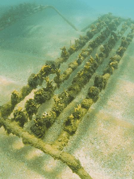 Biofábrica de corais submersa em Porto de Galinhas; aumento foi considerado surpreendente por criadores do projeto - Divulgação - Divulgação