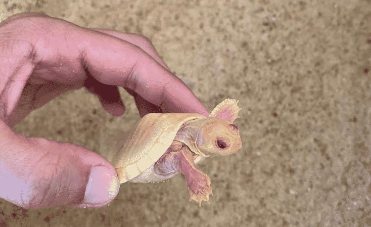 Filhote albino de tartaruga-da-amazônia - PQA/divulgação - PQA/divulgação