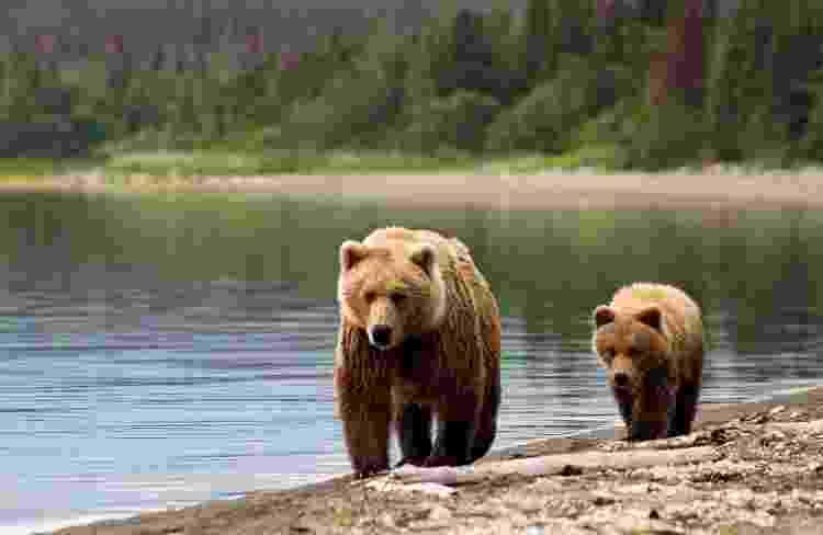 Mamãe grizzly com seu filhote: nesses momentos, o humano pode ser visto como uma ameaça à cria - Getty Images/iStockphoto - Getty Images/iStockphoto