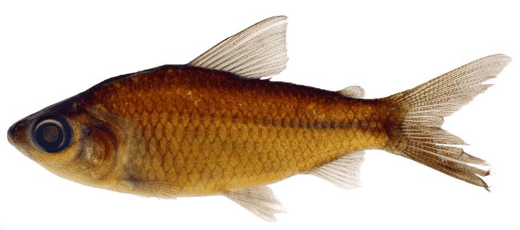 Curimatopsis melanura, uma das novas espécies identificadas na Calha Norte - Lorena S. Vieira - Lorena S. Vieira
