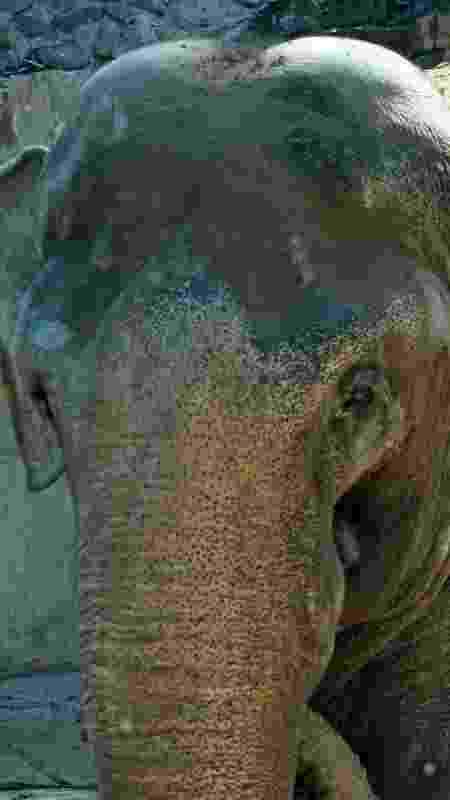 Tamy (foto) é um macho asiático que virá de Mendoza, na Argentina, para um santuário de elefantes no Mato Grosso - Divulgação - Divulgação