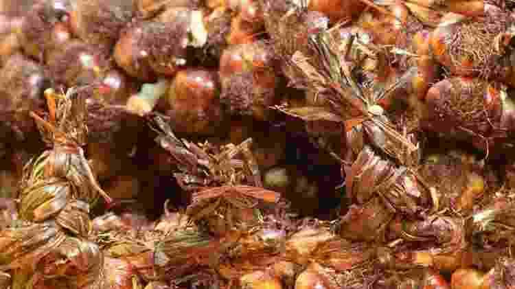 Alho defumado, em Arleux, na França - Divulgação