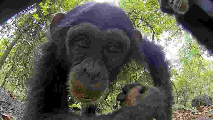 """Macaco observa câmera-espiã em """"Espiões da Natureza"""", no Animal Planet - Divulgação/Discovery Channel"""