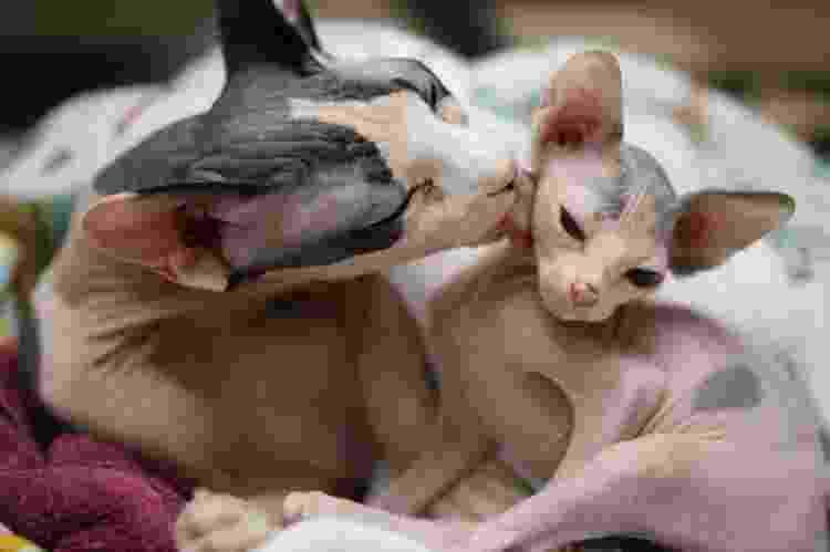Gatos da raça sphynx - Getty Images/Vetta - Getty Images/Vetta