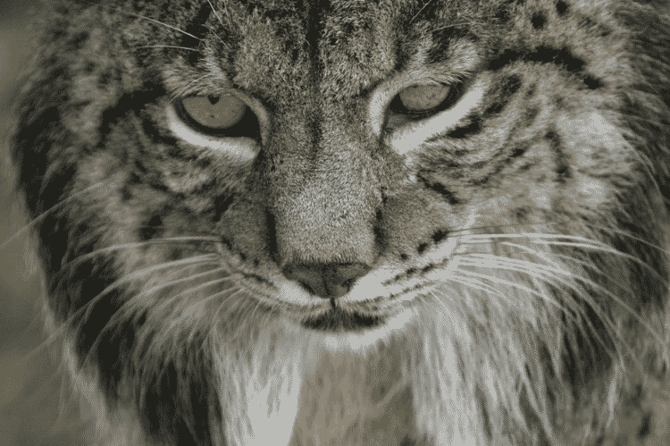O lince-ibérico (Lynx pardinus) - Divulgação/Programa de Conservação Ex-situ del Lince Ibérico - Divulgação/Programa de Conservação Ex-situ del Lince Ibérico