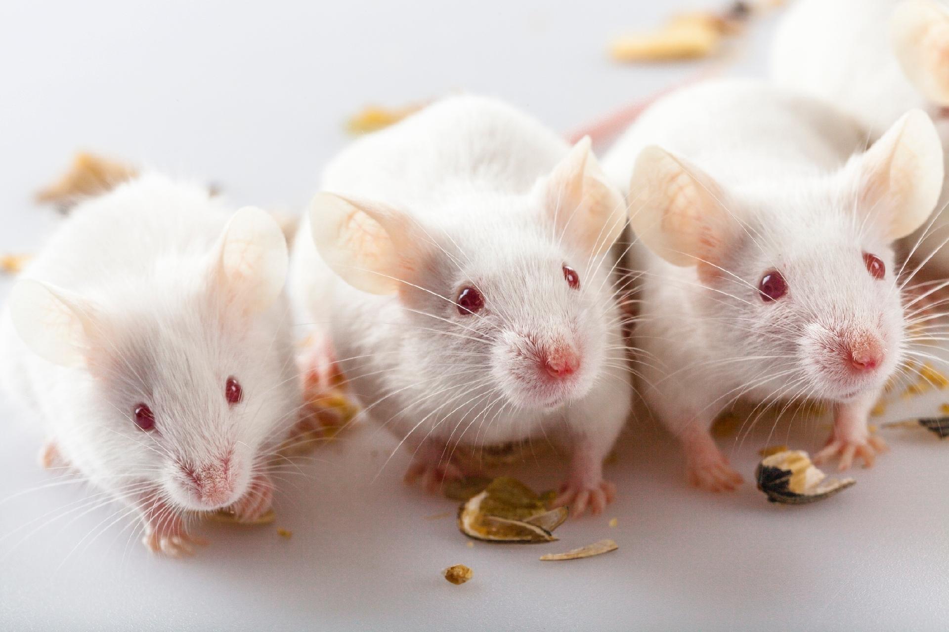 Experimento com ratos ajudará a entender melhor o Alzheimer - 01/08/2019 - UOL VivaBem